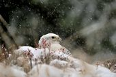 Gyrfalcon On Snowy Winter