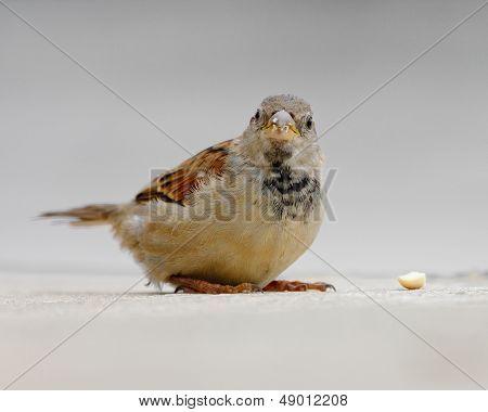 Sparrow Finds Nut On Sidewalk (close-up).