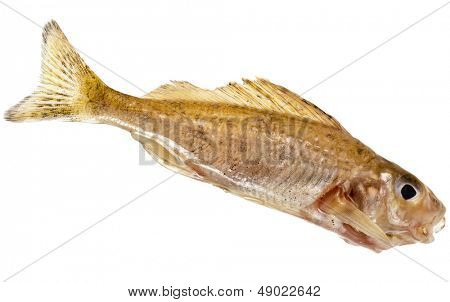 Small ruff  fresh fish close up isolated on white background