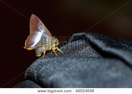 Orange-tailed Awl Butterfly