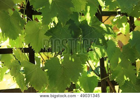 Grapevine Growing On A Trellis