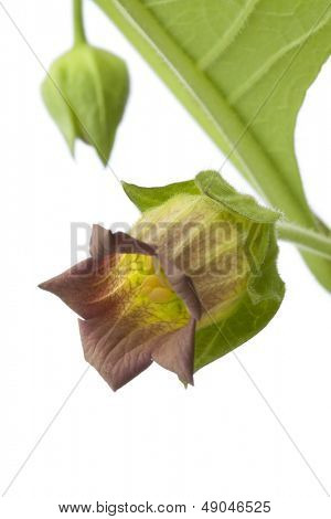 Fresh Belladonna flower and bud on white background