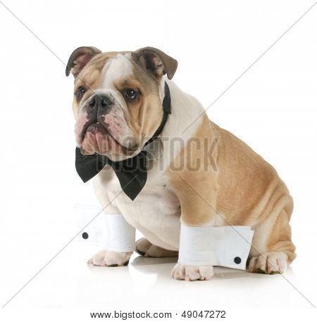 schöner Hund - englische Bulldogge verkleidet tragen Smoking isoliert auf weißem Hintergrund