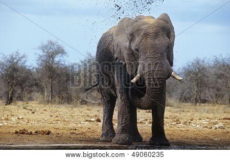 African Elephant (Loxodonta Africana) squirting mud on savannah