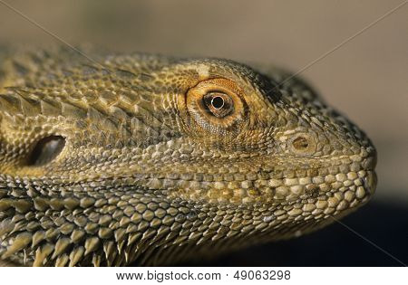 Water dragon close-up of head