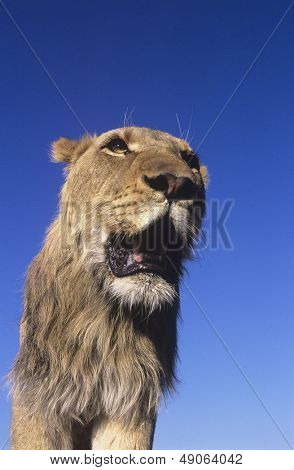 Male Lion against blue sky low angle view