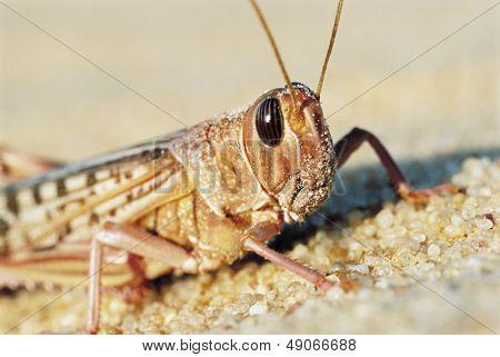 Desert Locust. close up