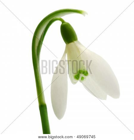 Beautiful Snowdrop Flower