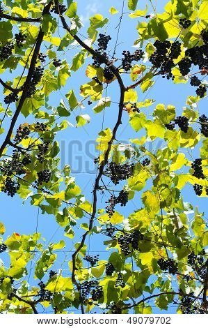 Grape In The Vinyard
