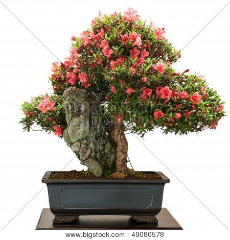 Rhododendron Indicum Bonsai Tree With Red Flowers
