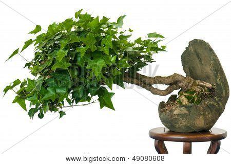 Ivy (hedera Helix) As Bonsai Tree