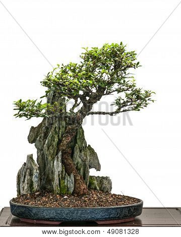 Bonsai Elm Tree (zelkove Nire) Is Growing Over A Rock