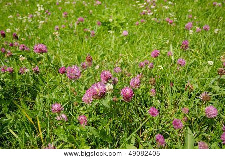 Flower Of A Red Clover On A Meadow