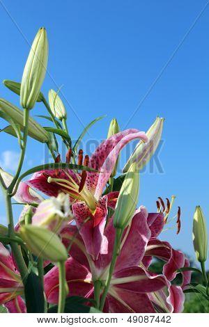 Stargazer Lilies In The Sky