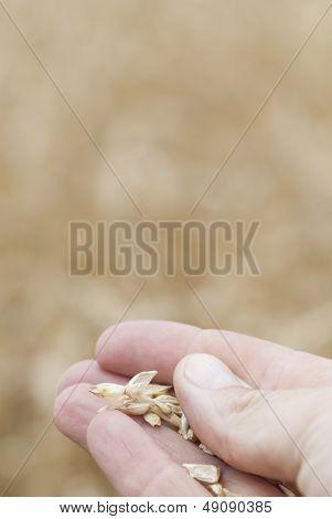 Hand Holding Ripe Wheat (triticum).