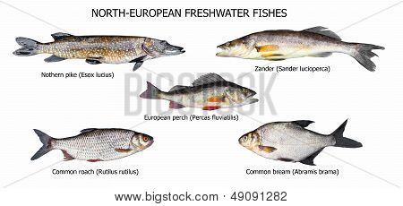 European Fishes