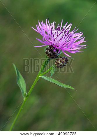 purple flower of knapweed Centaurea jacea
