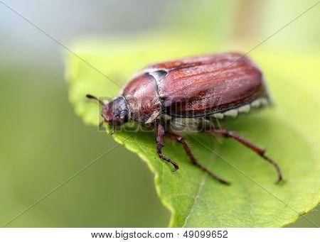 may Beetle Sitting On A Leaf