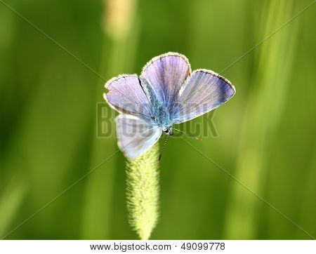 the Blue Butterfly Sitting On The Grass