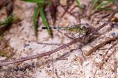ground skimmer dragonfly