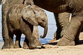 foto of calf  - Elephant calf walking between its parents legs