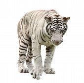 stock photo of bengal cat  - white bengal tiger isolated on white background