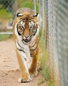 A Portrait Of A Bengal Tiger In A Zoo Cage