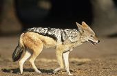 stock photo of jackal  - Black - JPG
