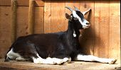 stock photo of cashmere goat  - Portrait of a beautiful luxurious cashmere goat - JPG