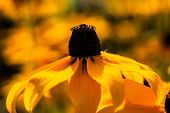 picture of black-eyed susans  - Bright yellow rudbeckia or Black Eyed Susan flowers in the garden