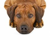 stock photo of sad dog  - Rhodesian Ridgeback dog isolated on white background - JPG