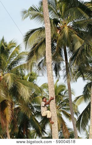 African Black Man Climbs Palm Tree.
