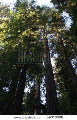 California Redwood Forest Trees
