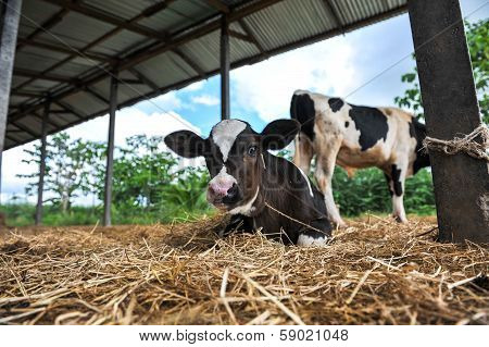 Young Dairy Cows