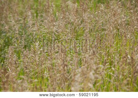Smooth Bromegrass, Bromus Inermis