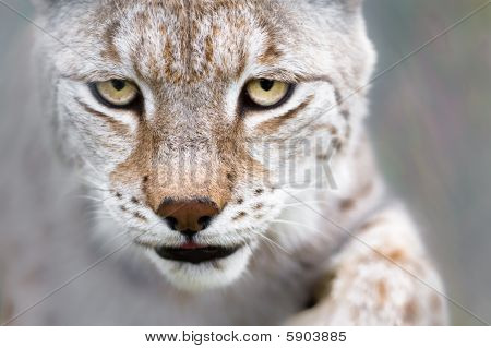 Lynx With Focused Eyes