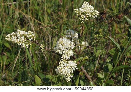 Wild Privet flowers