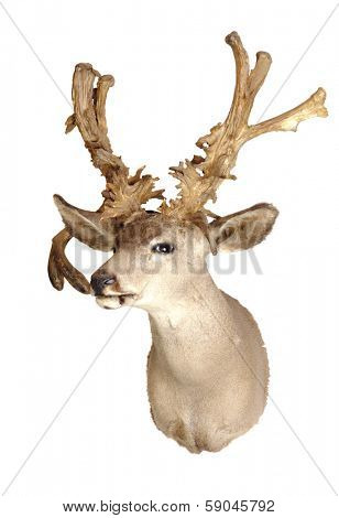 no-typical deer Black-tailed deer head mount isolated on white background