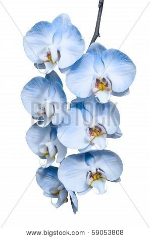 Exotic Tropical Branch Of Romantic Blue Orchids Flowers