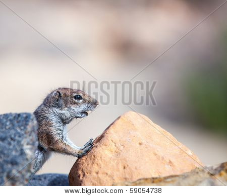 Barbary ground squirrel in the Canary Islands, Atlantoxerus getulus