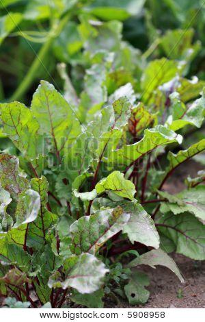 Beet Greens From Rural Garden