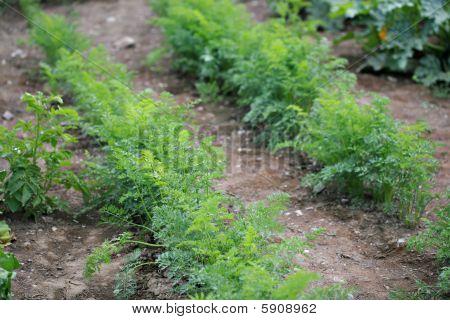Green Tops Of Carrots