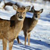 stock photo of deer family  - Deer family in snow - JPG
