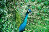 foto of peahen  - Portrait of beautiful peacock with feathers out - JPG