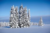 Winter forest with pine trees in snow and clear blue sky