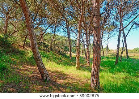 Pine Wood In Platamona Beach