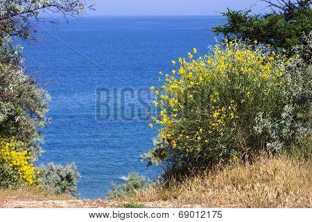 Blooming Gorse Sea