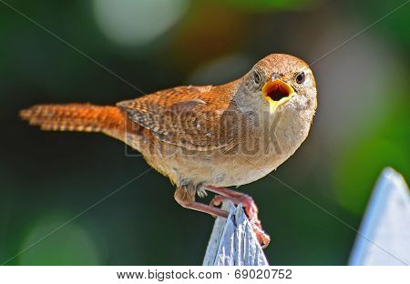 House Wren sitting on a picket fence screeching