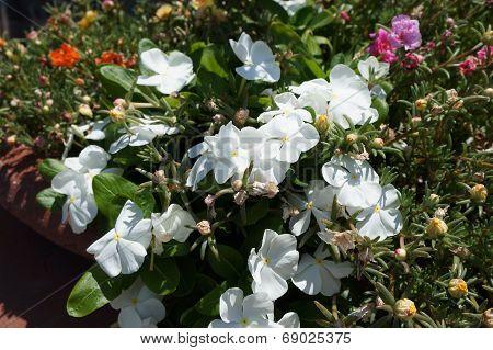 Vinca alba blossom