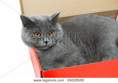 Gray Cat Lying In A Cardboard Box. White Background.